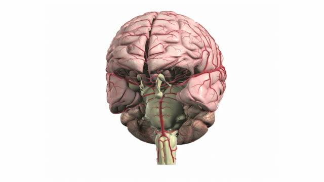 the brain - cerebral cortex stock videos & royalty-free footage