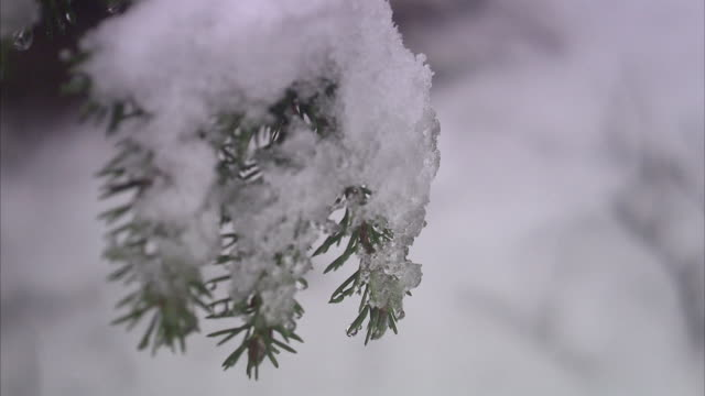the branch of a spruce close-up. - spruce stock videos & royalty-free footage
