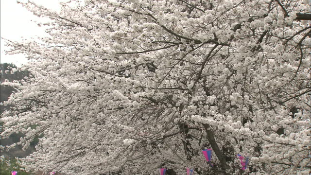 the branches of a flowering cherry tree sway in a breeze. - nagano prefecture stock videos and b-roll footage