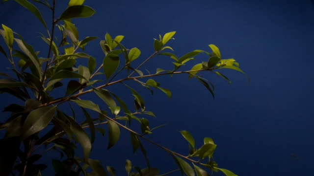 The branches of a green ficus tree grow and flex against a blue screen. Available in HD.
