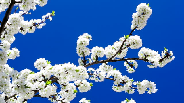 The branches of the cherry blossoms on background blue sky.