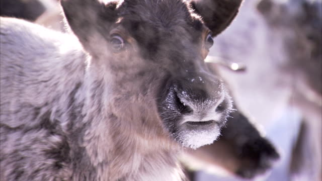 vidéos et rushes de the breath of a reindeer condenses in the cold siberian air. available in hd - caribou