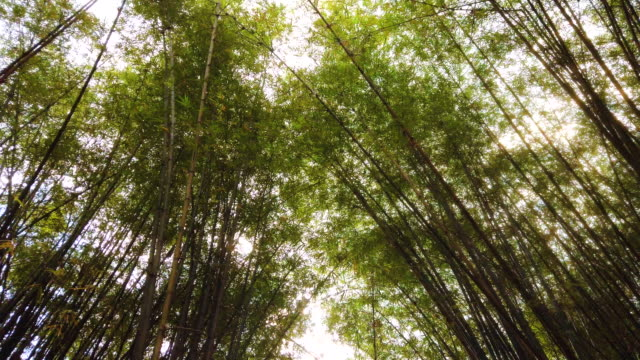 the bright sun shines through the bamboo thickets in tropical vietnamese jungle - bamboo plant stock videos & royalty-free footage