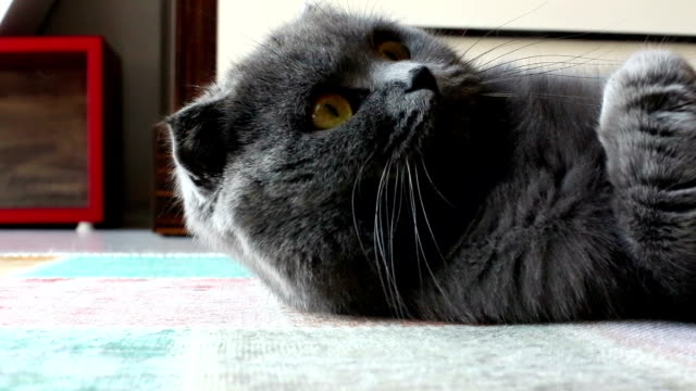 the british cat sits on a sofa in the room - shorthair cat stock videos and b-roll footage
