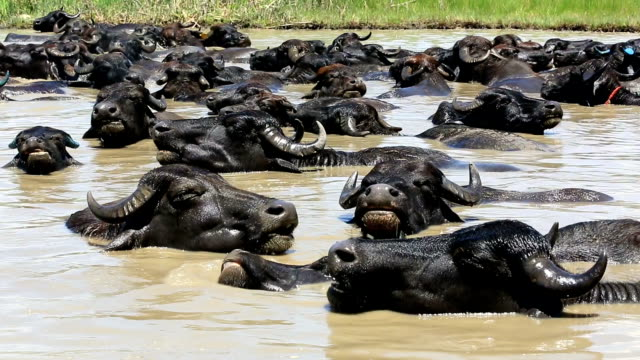 the buffa herd are cooling off in the water. - water buffalo stock videos & royalty-free footage