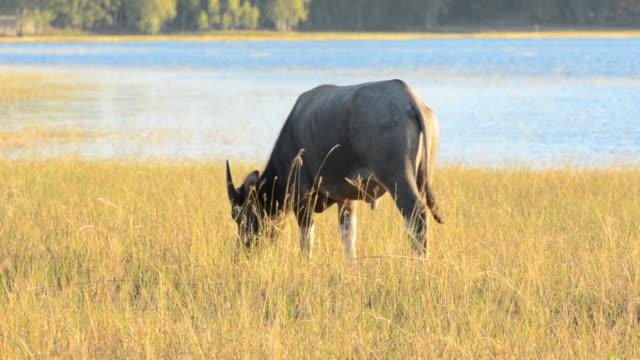 the buffalo - water buffalo stock videos & royalty-free footage