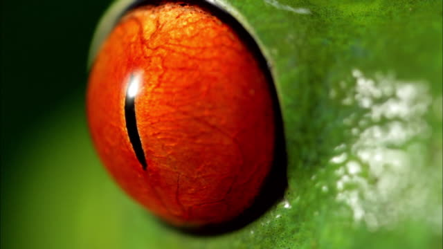 The bulging red eye of a frog stares.