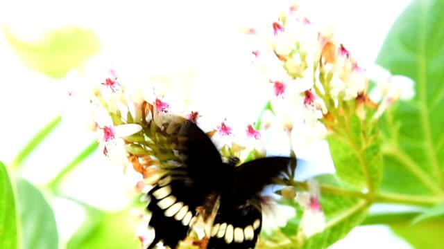 Der Butterfly