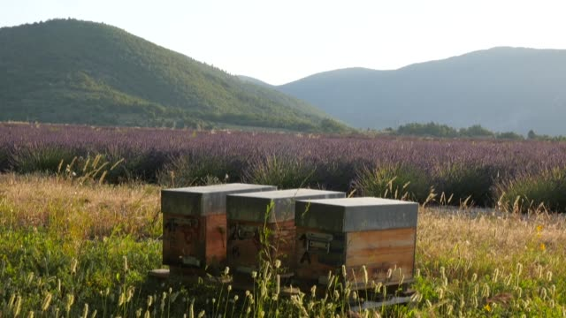 the buzzing of the bees, the smell of lavender, the glow of a summer night...in provence, beekeepers are in the midst of a migratory season, a race... - buzzing stock videos & royalty-free footage