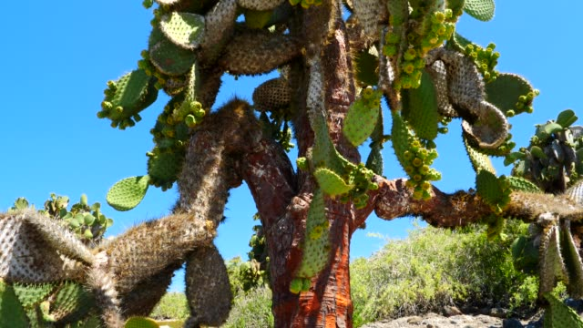 The cactus tree on the rock in Galapagos Islands