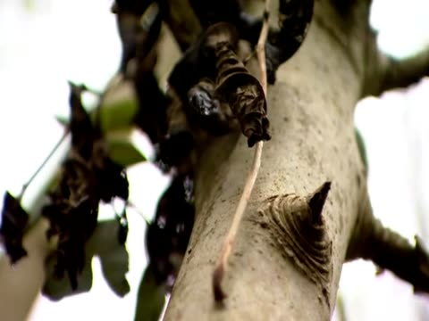 the camera focuses on black leaves of an ash tree infected with dieback - ash tree stock videos & royalty-free footage
