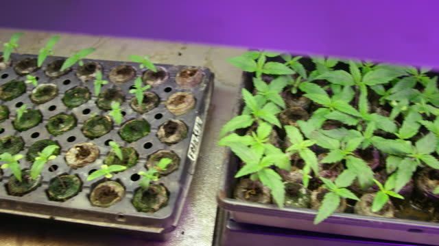 the camera shifts from marijuana (cannabis) seedlings on the left to the slightly larger plants on the right underneath artificial light in an indoor growing facility (hemp) - legalisation stock videos & royalty-free footage
