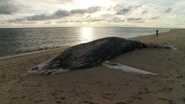 The carcass of a humpback whale lies on a sandy beach where a pickup is parked.