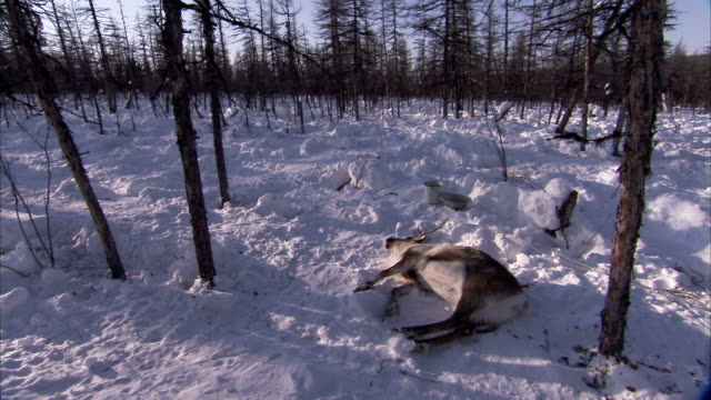 the carcass of a reindeer lies in a snow forest. - dead animal stock videos and b-roll footage