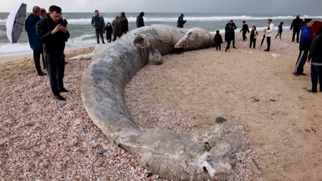 the carcass of an almost 17-metre fin whale has washed up on a southern israeli shore, in the aftermath of a storm that caused massive tar pollution - fin whale stock videos & royalty-free footage