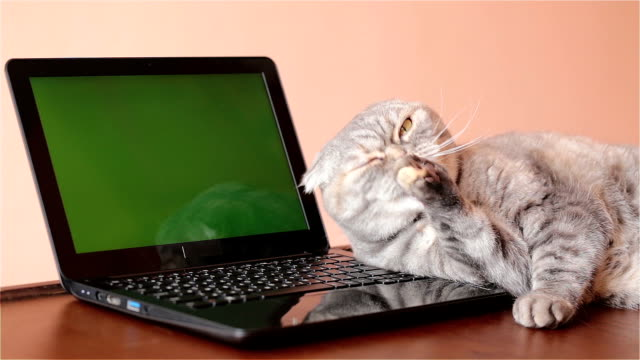 The cat lies near the laptop and washes his face.