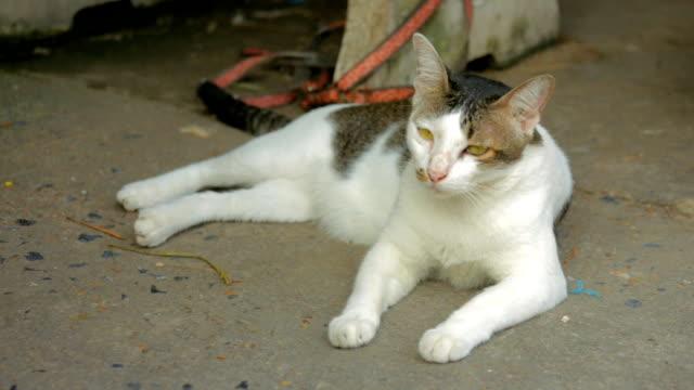 「猫 - 突き出た鼻点の映像素材/bロール