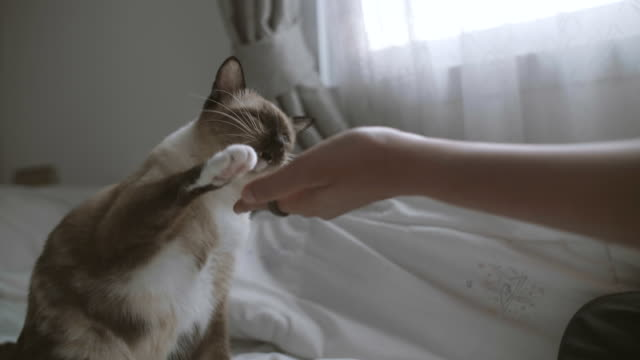 the cats ankle taps her woman in bedroom. - pets stock videos & royalty-free footage