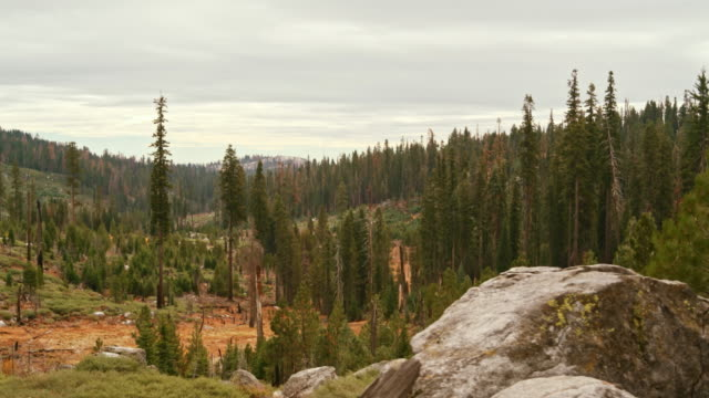 the cedar forest in the yosemite national park, sierra nevada mountains, with the signs of the past wildfire. - californian sierra nevada stock videos and b-roll footage