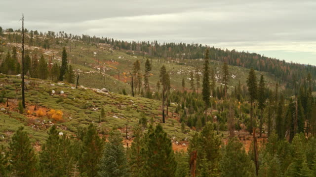 the cedar forest in the yosemite national park, sierra nevada mountains, with the signs of the past wildfire. - cedar stock videos & royalty-free footage