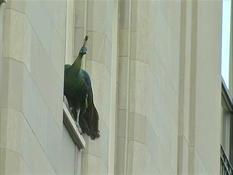 the central park zoo peacock on the third floor ledge of an apartment building on fifth avenue in new york city, ny. feed shows the bird flying away... - セントラルパーク動物園点の映像素材/bロール