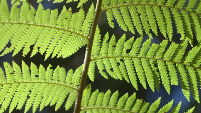 the central stem of a bracken-like plant in a nothofagus forest sways against a distorted forest background, new south wales, australia. - fern stock videos & royalty-free footage