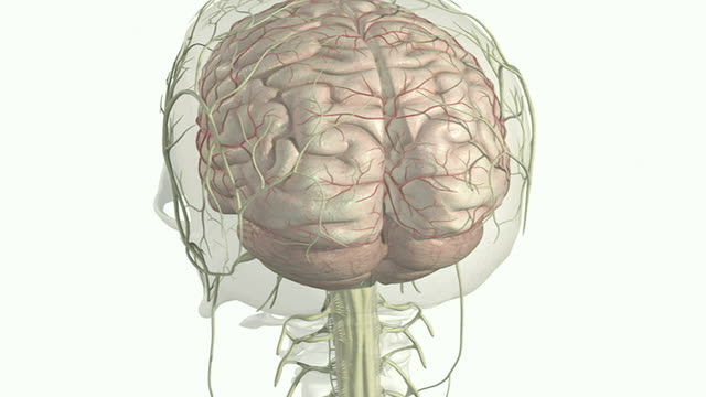 the cerebellum - emisfero cerebrale video stock e b–roll