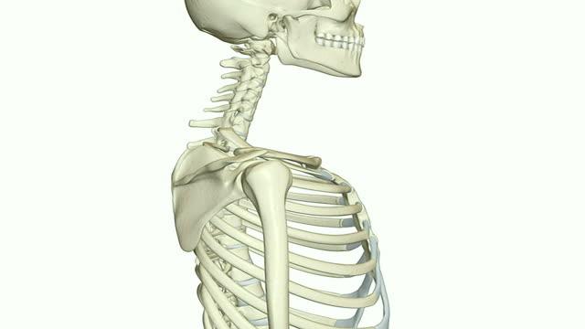 vídeos y material grabado en eventos de stock de the cervical vertebrae - cuello humano