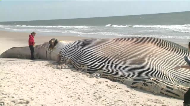 The cetacean was spotted Thursday on the sand at Smith Point Beach in Suffolk County according to the Riverhead Foundation a nonprofit group based on...