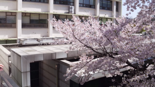 vidéos et rushes de the cherry blossom landscape of dongguk university, jung-gu, seoul - arbre en fleurs