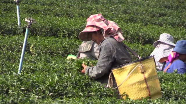the choui fong tea plantation has been in existence for over 40 years and is the largest producer in chiang rai province - chiang rai province stock videos and b-roll footage