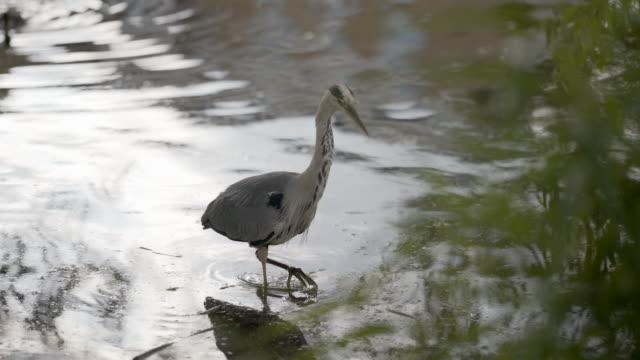the clapton pond heron - heron stock videos & royalty-free footage