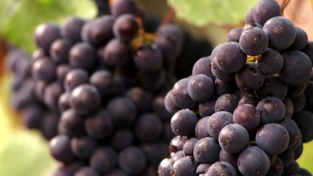 The cluster of grapes growing in a vineyard