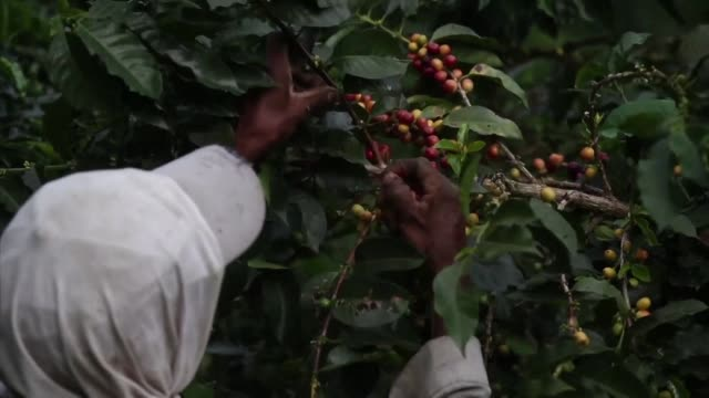 The coffee crop splashes the green mountains of Colombia with red attracting a floating workforce of indigenous people in the fields of South...