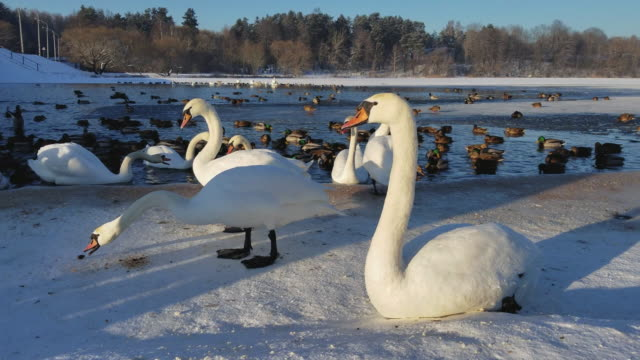 The cold winter. The closeup video of swans feeding and resting on the ice. The huge flock of ducks and swans surviving together at the small spot of the open water on the frozen lake.