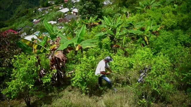 the colombian government plans to substitute coca crops which yield the base for cocaine for coffee or banana plantations legal but much more... - cocaine stock videos and b-roll footage