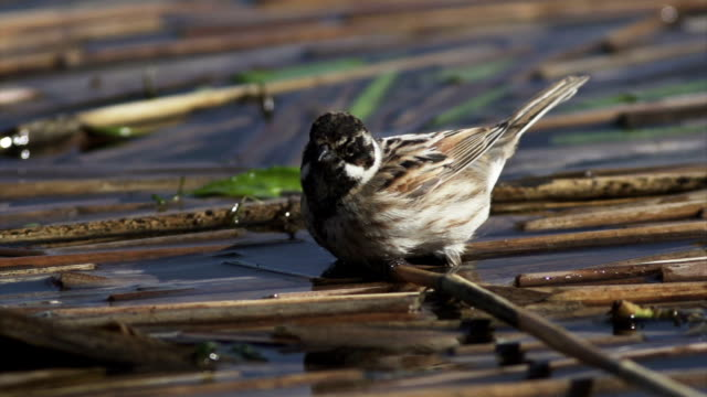 the common reed bunting - emberiza schoeniclus - reed grass family stock videos and b-roll footage