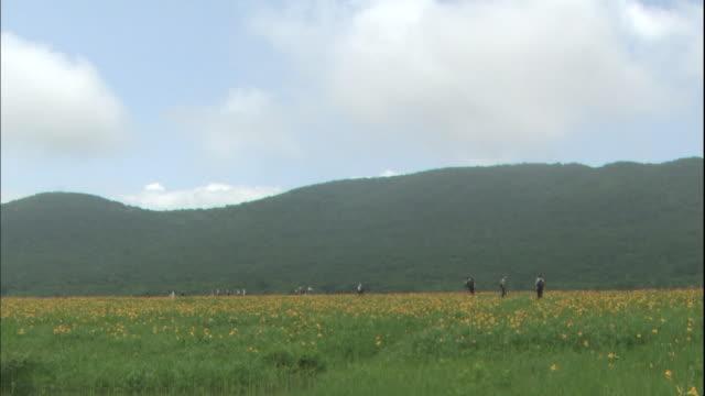 the community of daylily works in the oguninuma wetlands in fukushima-ken kitashiobara-mura, japan. - ワスレナグサ点の映像素材/bロール