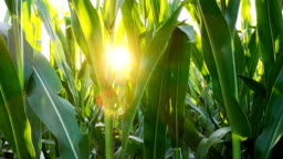 The corn plant in the field