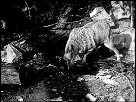 the cougar hunt - 1 of 13 - andere clips dieser aufnahmen anzeigen 2268 stock-videos und b-roll-filmmaterial