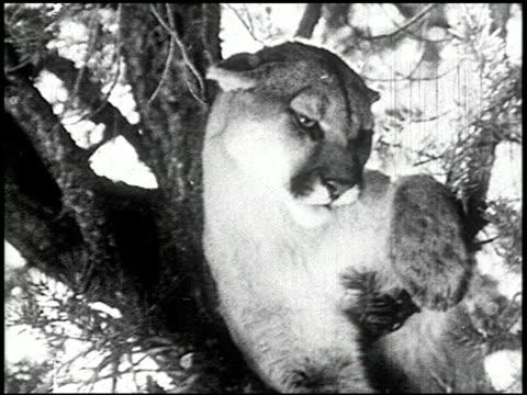 the cougar hunt - 13 of 13 - andere clips dieser aufnahmen anzeigen 2268 stock-videos und b-roll-filmmaterial