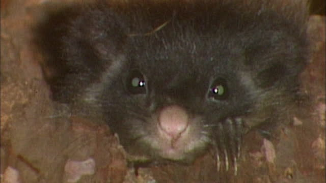 the couple of flying squirrel the endemic mammalian of japan had a baby the two months old baby pokes its head out of the hole - endemic stock videos and b-roll footage
