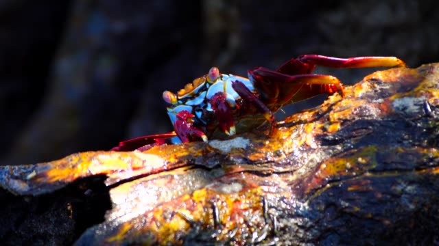 the crab eating mangrove tree in galapagos islands - crab stock videos & royalty-free footage
