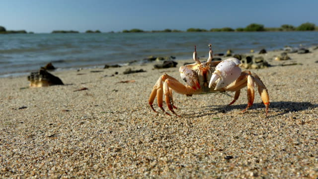 The  crab make a back somersault in the sand beach