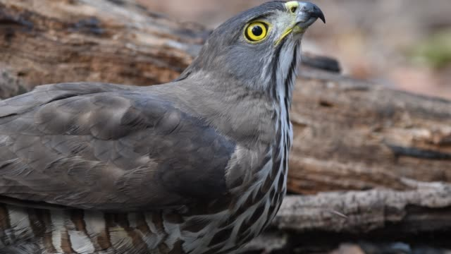 the crested goshawk ( accipiter trivirgatus ) hawk. drinking water in water pond. a small pond that exists in nature. is a small pond that exists in nature during the dry season in thailand. - bronx zoo stock-videos und b-roll-filmmaterial