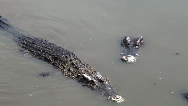ワニは沼で泳ぎます。 - カイマン点の映像素材/bロール