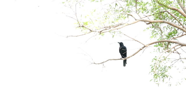 the crow bird. - perching stock videos & royalty-free footage