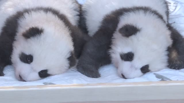 the cuteness level at berlin zoo doubles as a pair of twin panda cubs make their public debut with the zoo revealing the cuddly bundles of fur were... - cub stock videos & royalty-free footage