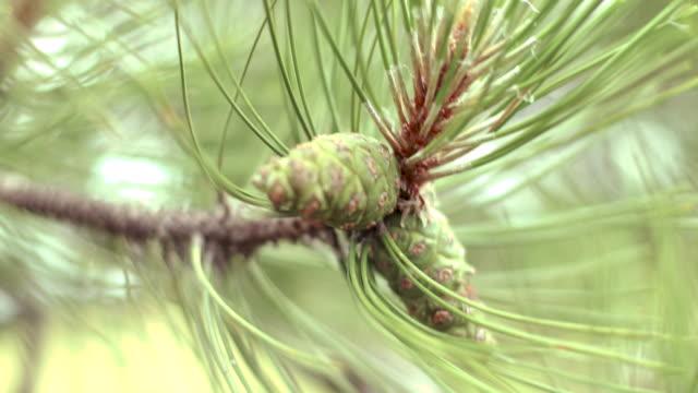 松の木の生活の中で一日 - パインコーン点の映像素材/bロール