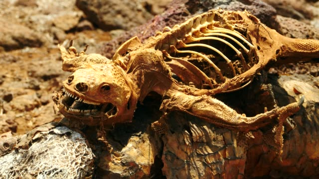 vídeos y material grabado en eventos de stock de the dead galapagos land iguana and the skeleton in galapagos islands - iguana de los galápagos